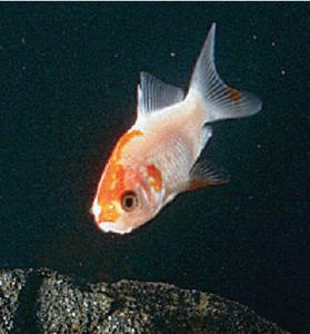 Ward's® Comet Goldfish