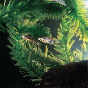 Live Zebrafish