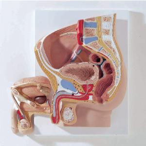 3B Scientific® Pelvic  Relief Models