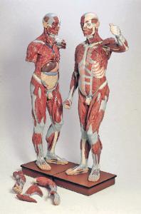 3B Scientific® Male Muscular Figure