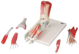3B Scientific® Foot Skeleton With Ligaments And Muscles