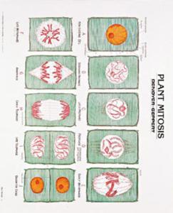 Denoyer-Geppert® Botany Chart Set