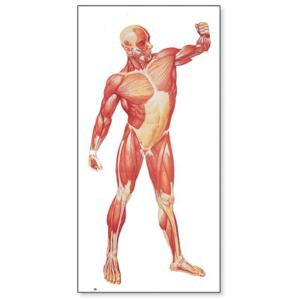 3B Scientific® Musculature Charts
