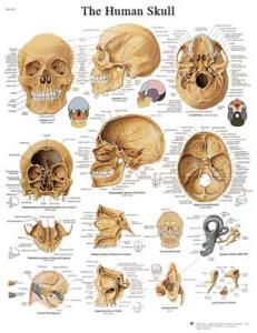 3B Scientific® Human Skull Chart