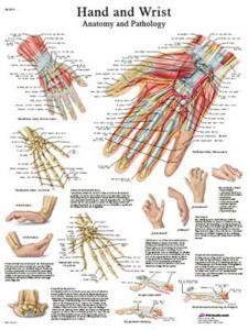 3B Scientific® Hand And Wrist Chart