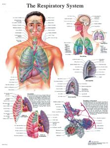 3B Scientific® Respiratory Chart