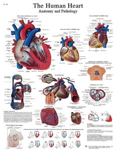 3B Scientific® Heart Chart