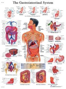 3B Scientific® Digestive System Chart