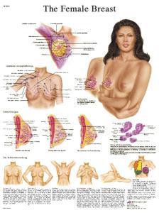 3B Scientific® Female Breast Chart