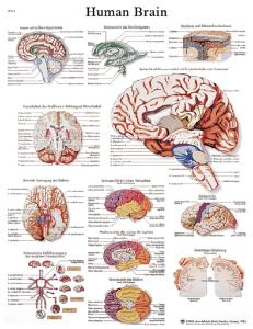 3B Scientific® Brain Chart