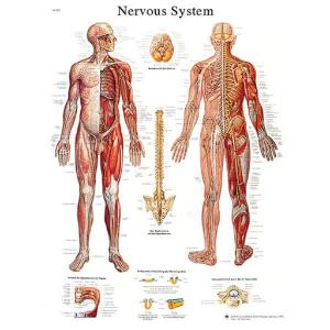 3B Scientific® Nervous System Chart