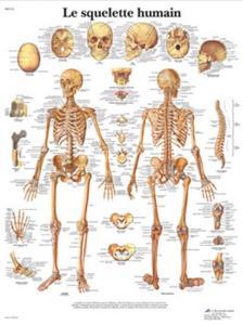 3B Scientific® Le Squelette Humain
