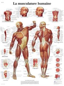 3B Scientific® La Musculaire Chart