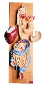 Denoyer-Geppert® Digestive System Model