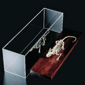 Rat Skeletons, Articulated Real Bones