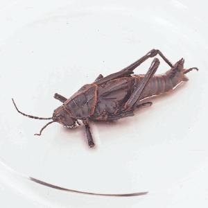 Preserved Lubber Grasshopper