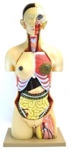 Dual sex torso