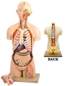 Dual sex open back torso