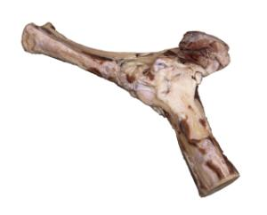 Cow Elbow Joint