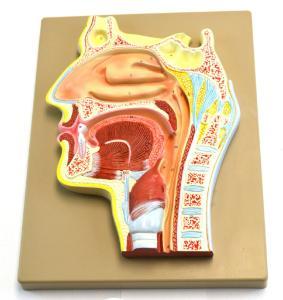Nose and sinus cavity