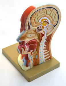 Median section human head and neck