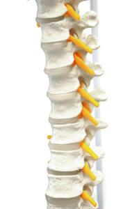 Life size spine