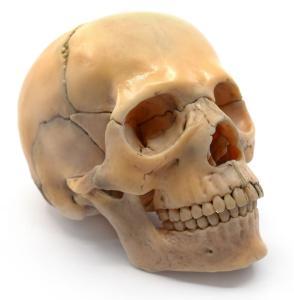 Model mini skull, natural