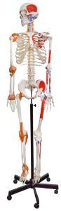 Model skeleton muscular flexible