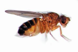 Drosophila Genetics Kit