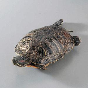Ward's®  Live Red Eared Slider Turtles (<i>Pseudemys sp</i>.)