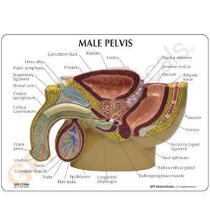 GPI Anatomicals® Basic  Pelvic Models