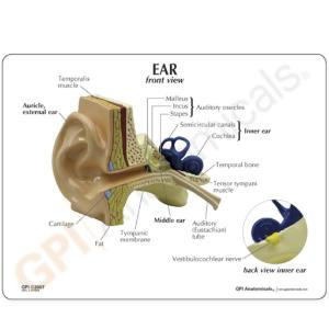 GPI Anatomicals® Basic Ear Model