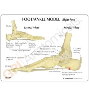 GPI Anatomicals® Basic Foot-Ankle Skeleton