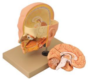 Eisco® Head And Brain