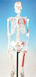 Eisco® Painted And Articulated Skeleton Model