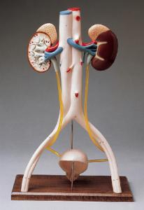 Denoyer-Geppert® Urinary System Models