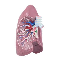 GPI Anatomicals® Basic Lung Model
